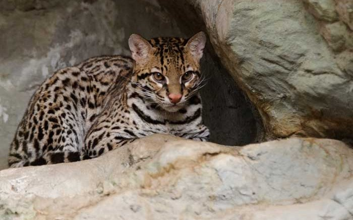 An ocelot in Texas, similar to the one spotted in Arizona's Santa Rita Mountains near Augusta Resource's Rosemont copper project. Photo by Eric Kilby.