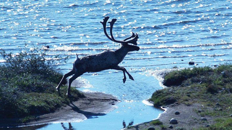 Environmental concerns relating to Nunavut's regional Bathurst caribou herd stalled mine construction at Sabina Gold & Silver's Back River gold project last year. The company considered caribou migration and calving activities in its subsequent application. Credit: Sabina Gold & Silver.
