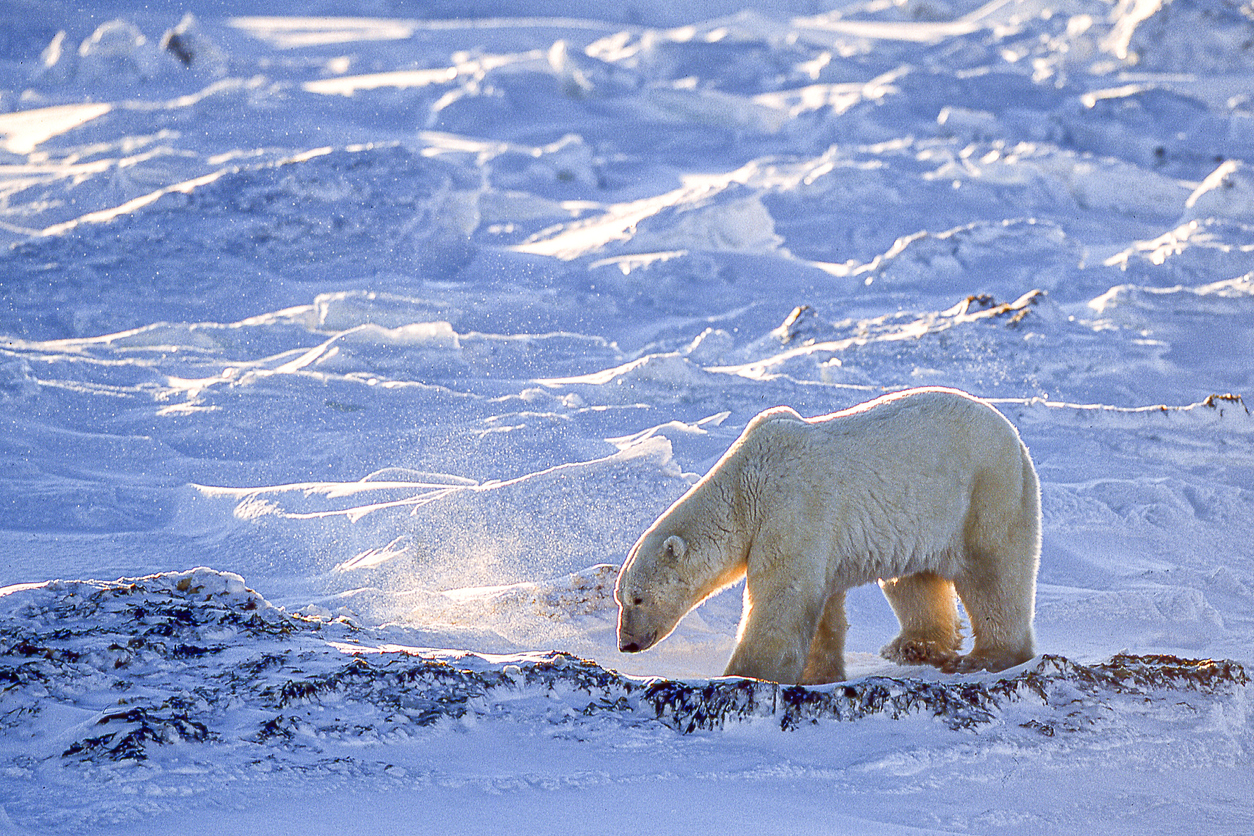 Odds 'n' Sods: Close encounters of the polar bear kind - The Northern Miner